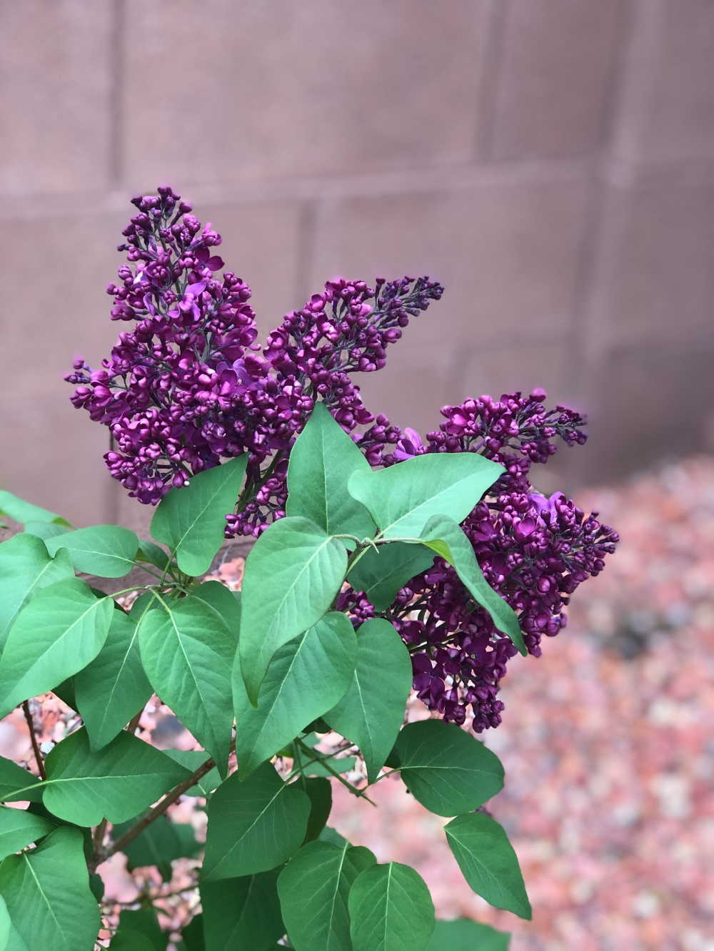 Close up image of a lilac bush with purple lilac flowers.